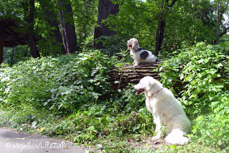GBGV sitting on a tree
