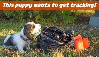 Puppy Tracking – What Age Should Training Start?