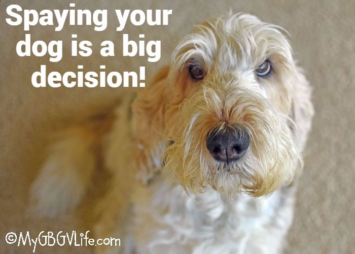 Should You Spay Your Dog And When? It Is A Big Decision!